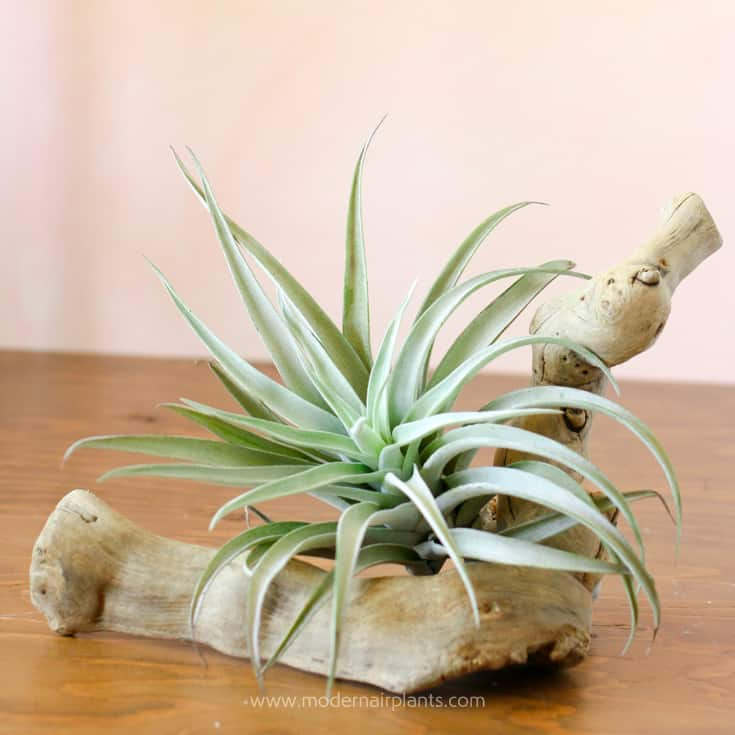 Air Plants and Driftwood Perfect Combination