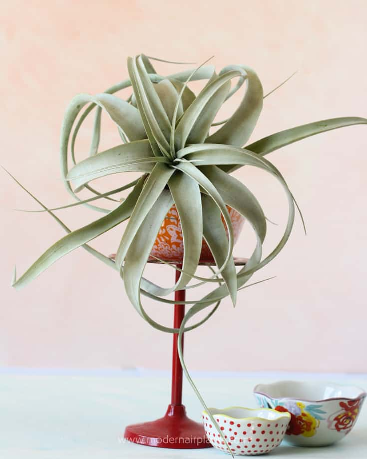 Candlestick holders give height to airplant arrangements