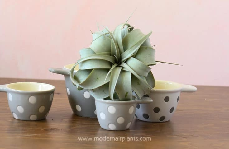 Ceramic Measuring Cups to Display Air Plants