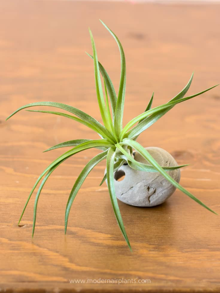 Even a rock can be an air plant container