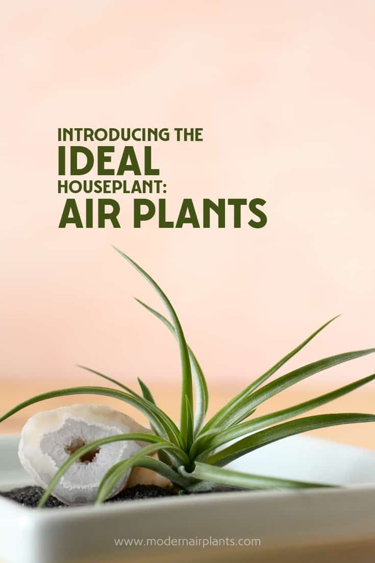 Find-out-why-air-plants-are-ideal-houseplants.jpg