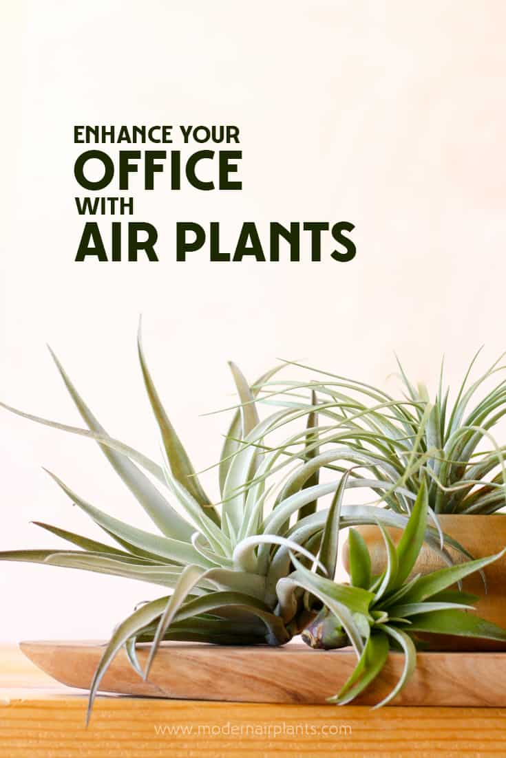 Just Love These Tips For Showcasing Air Plants At The Office