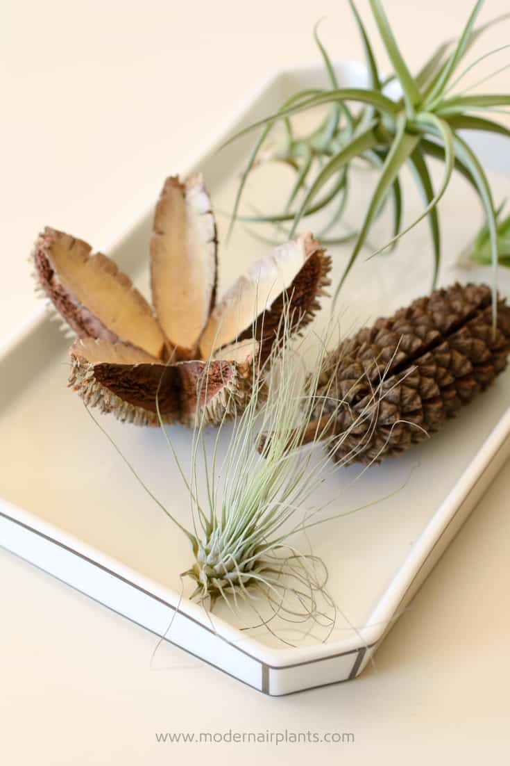 Love Office Air Plants