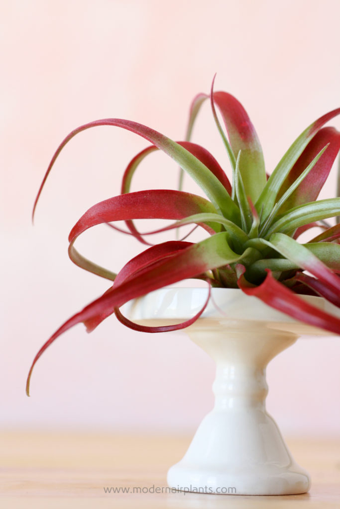 Mesic Tillandsia - ideal houseplant