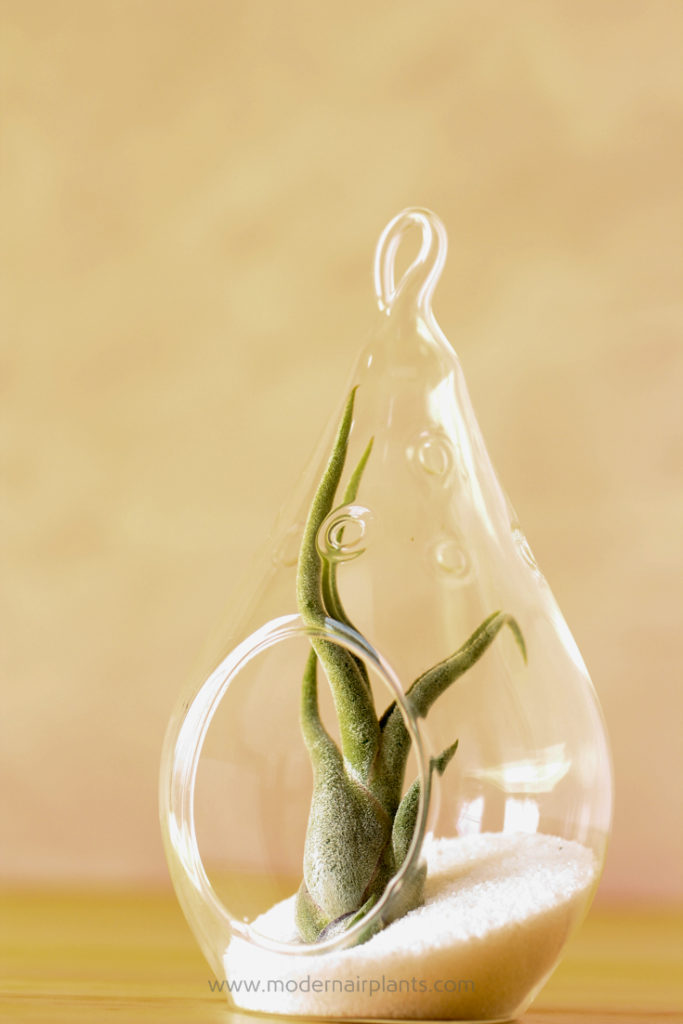 My first airplant terrarium - ideal house plants