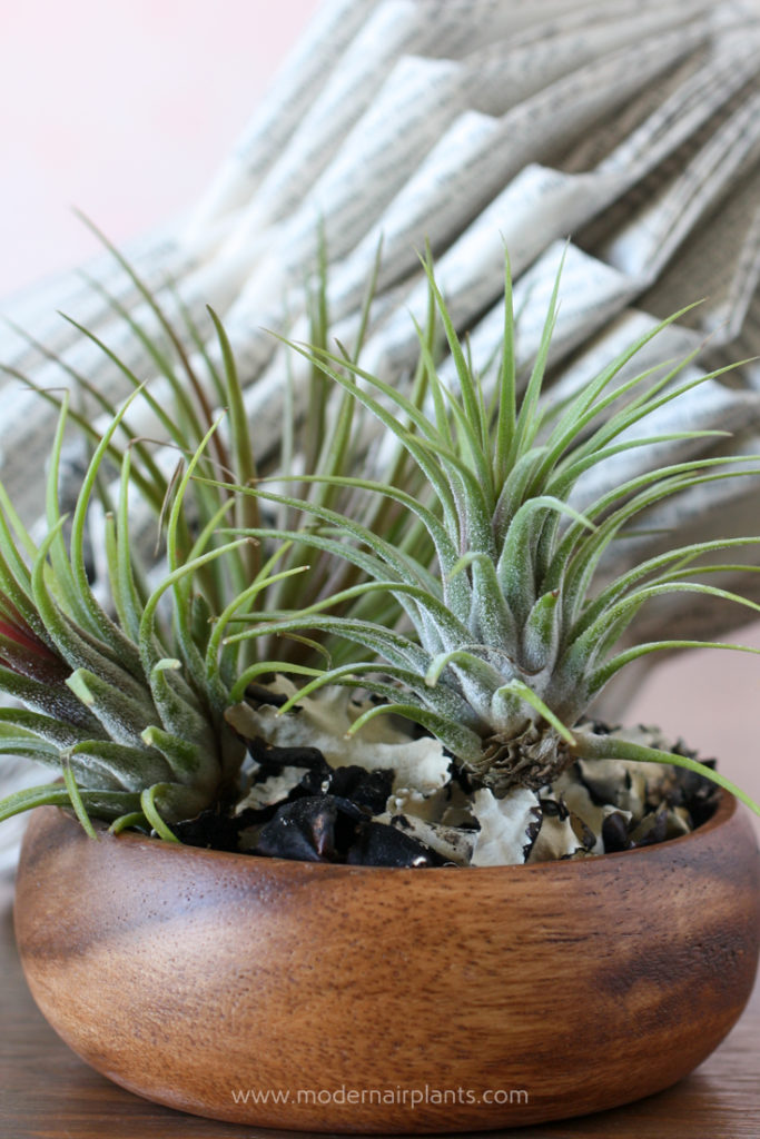 Note the trichomes on the tillandsias - ideal house plants