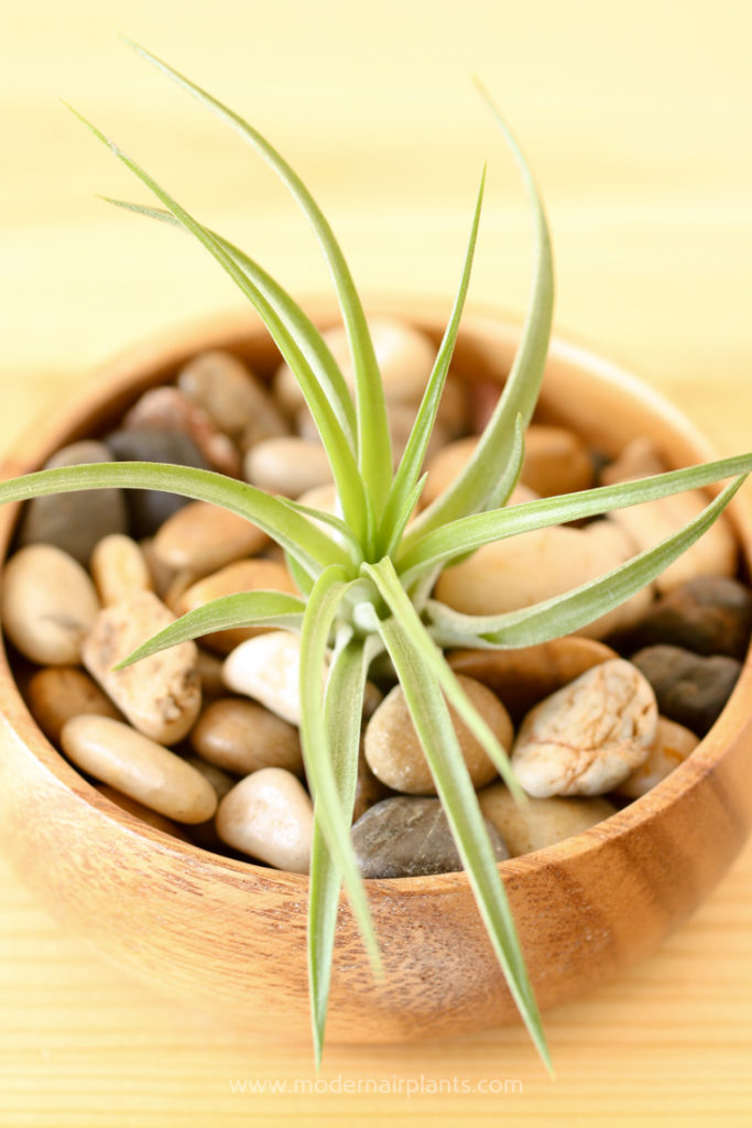 Pebbles and air plants - top houseplants