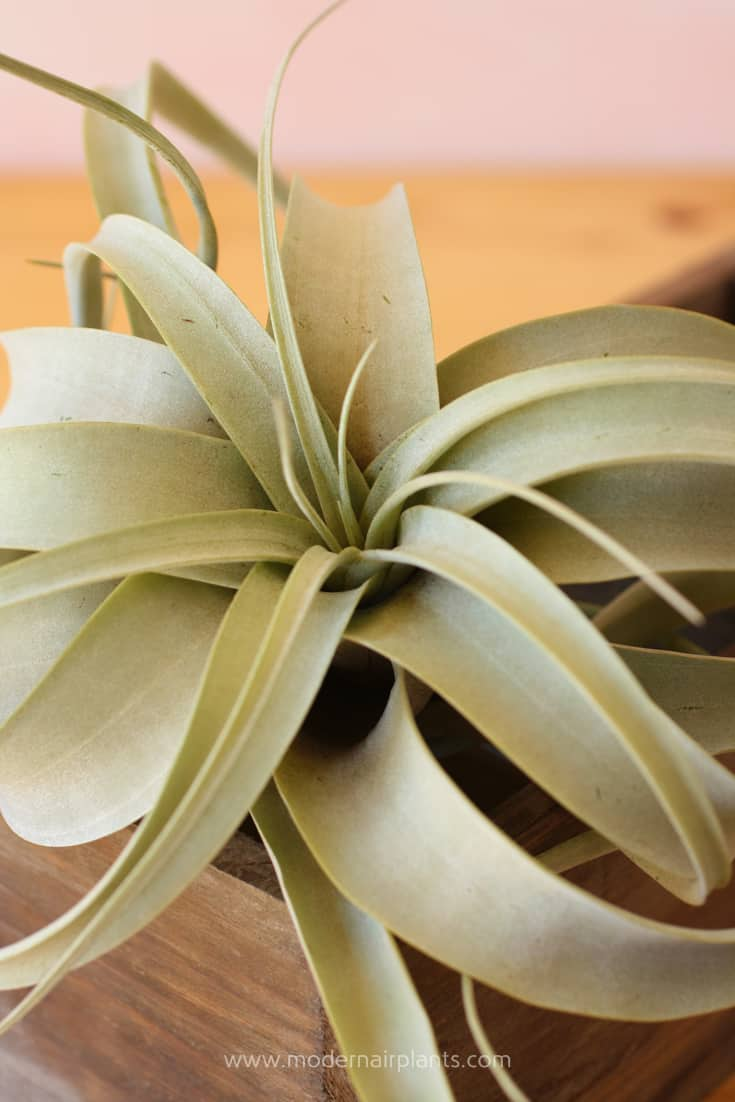 Some air plants will blush pink under light