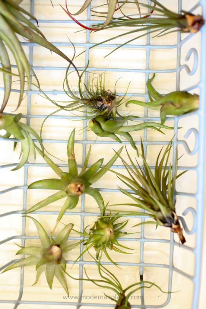 allow air plants to dry