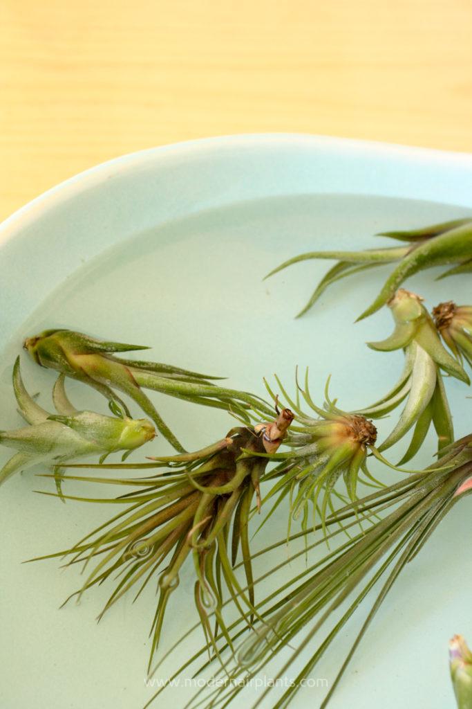 soak air plants in water - ideal plants