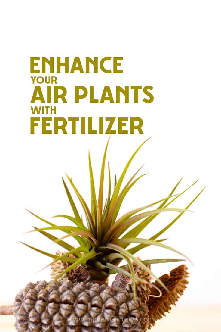 Check out this great guide to fertilizing air plants