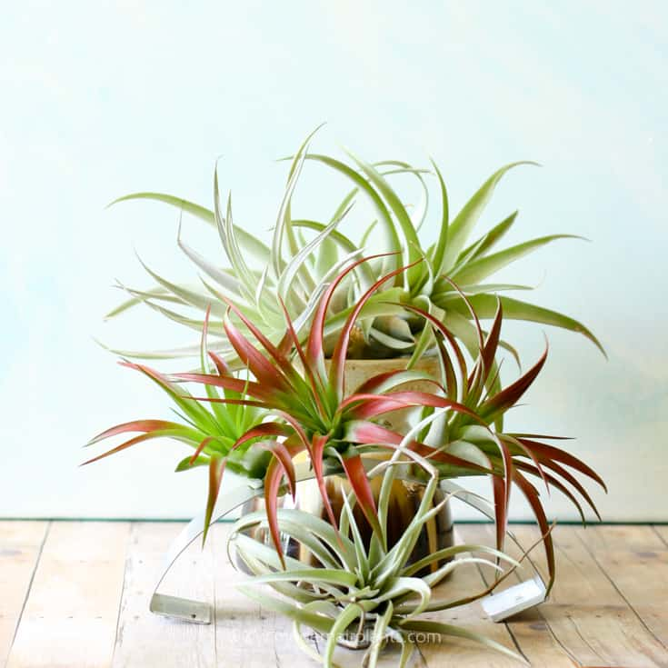 Combine different air plants with similar attributes to create pleasing display