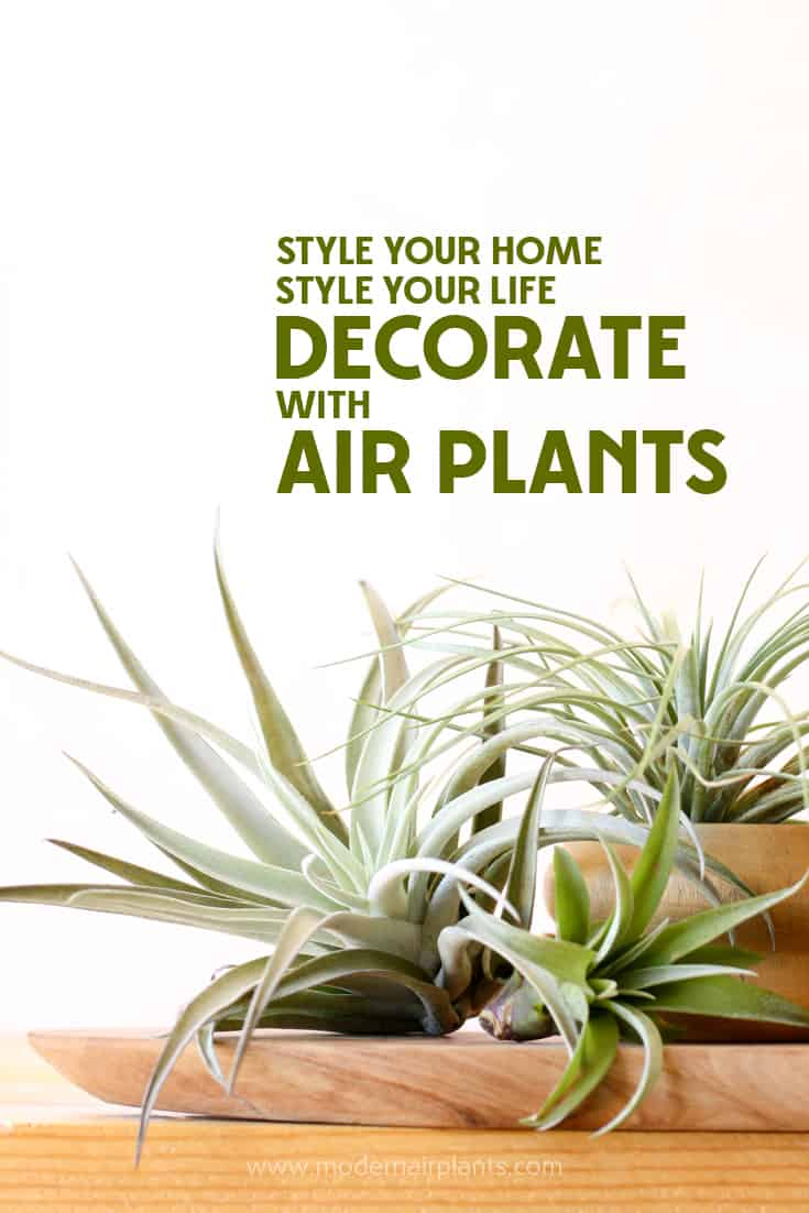 Decorate with Air Plants for a clean modern look