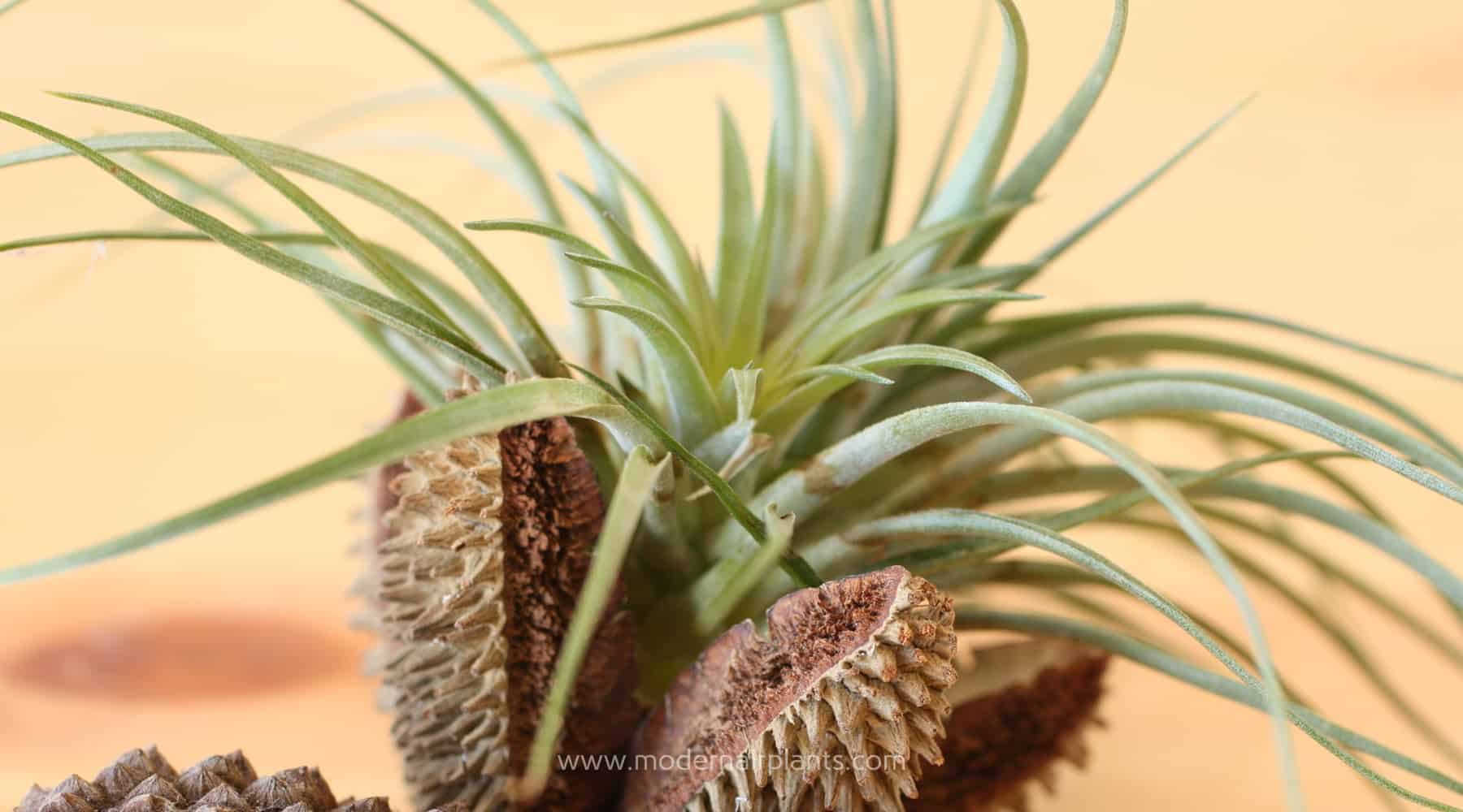 Decorate with Air Plants
