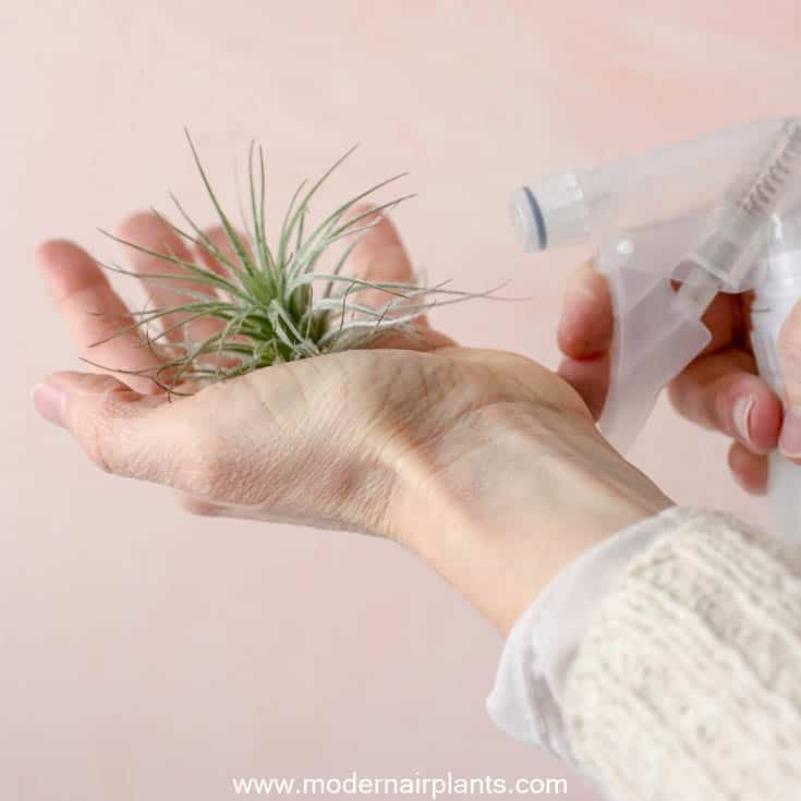 Mist tectorum - air plant