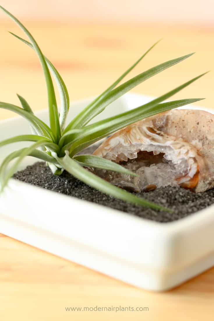 Play musical air plants to give air plants enough light