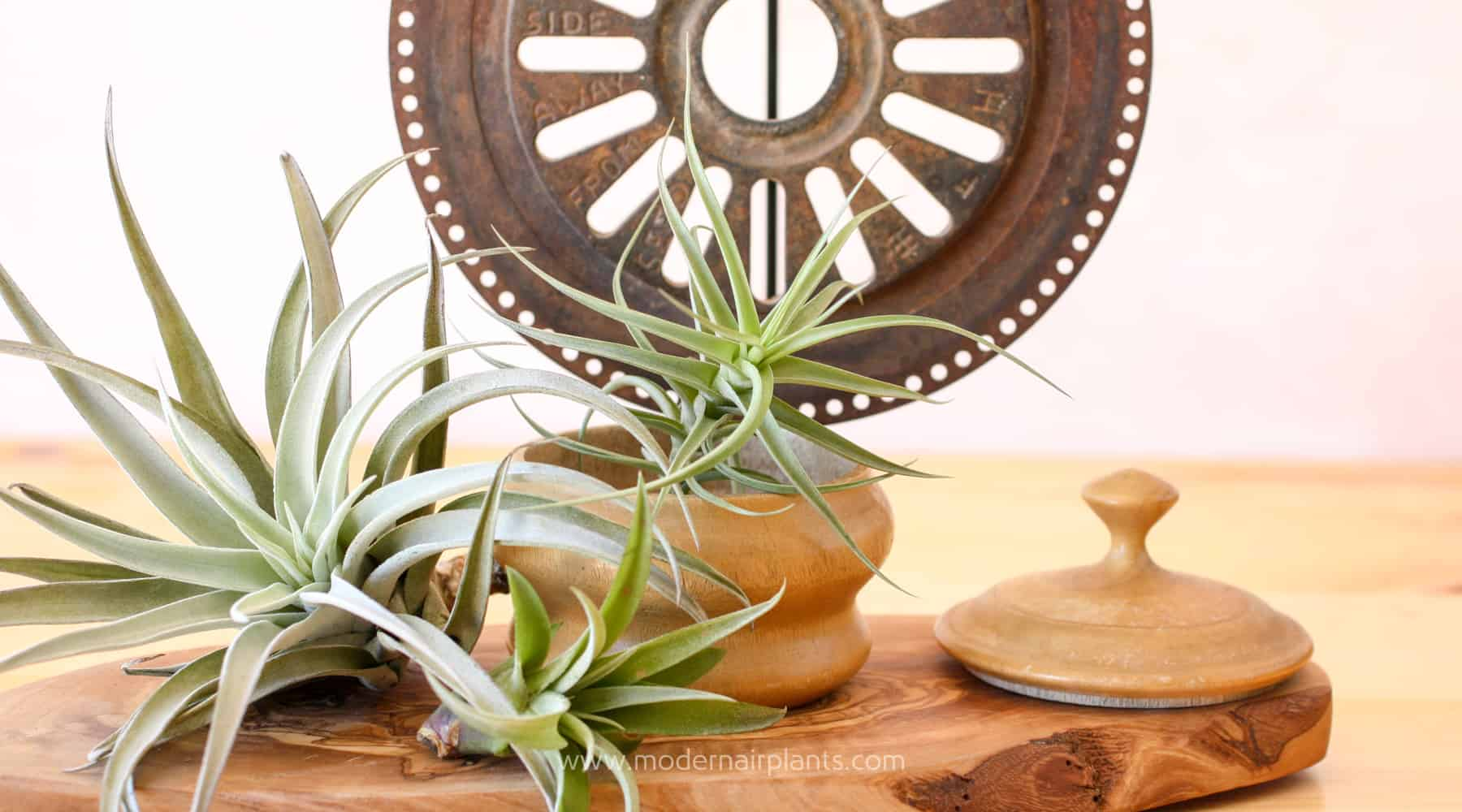 Rust an Air Plant Toxin