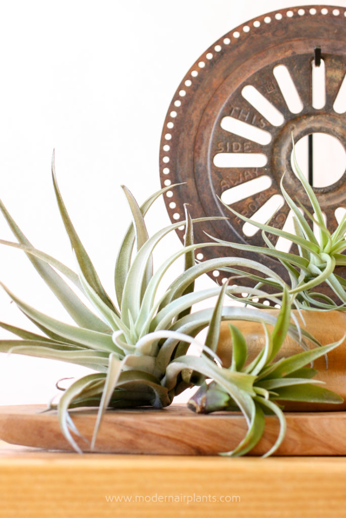 Rust is toxic to air plants