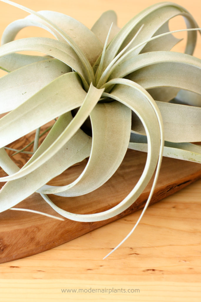 Tillandsia xerographica - all about air plants