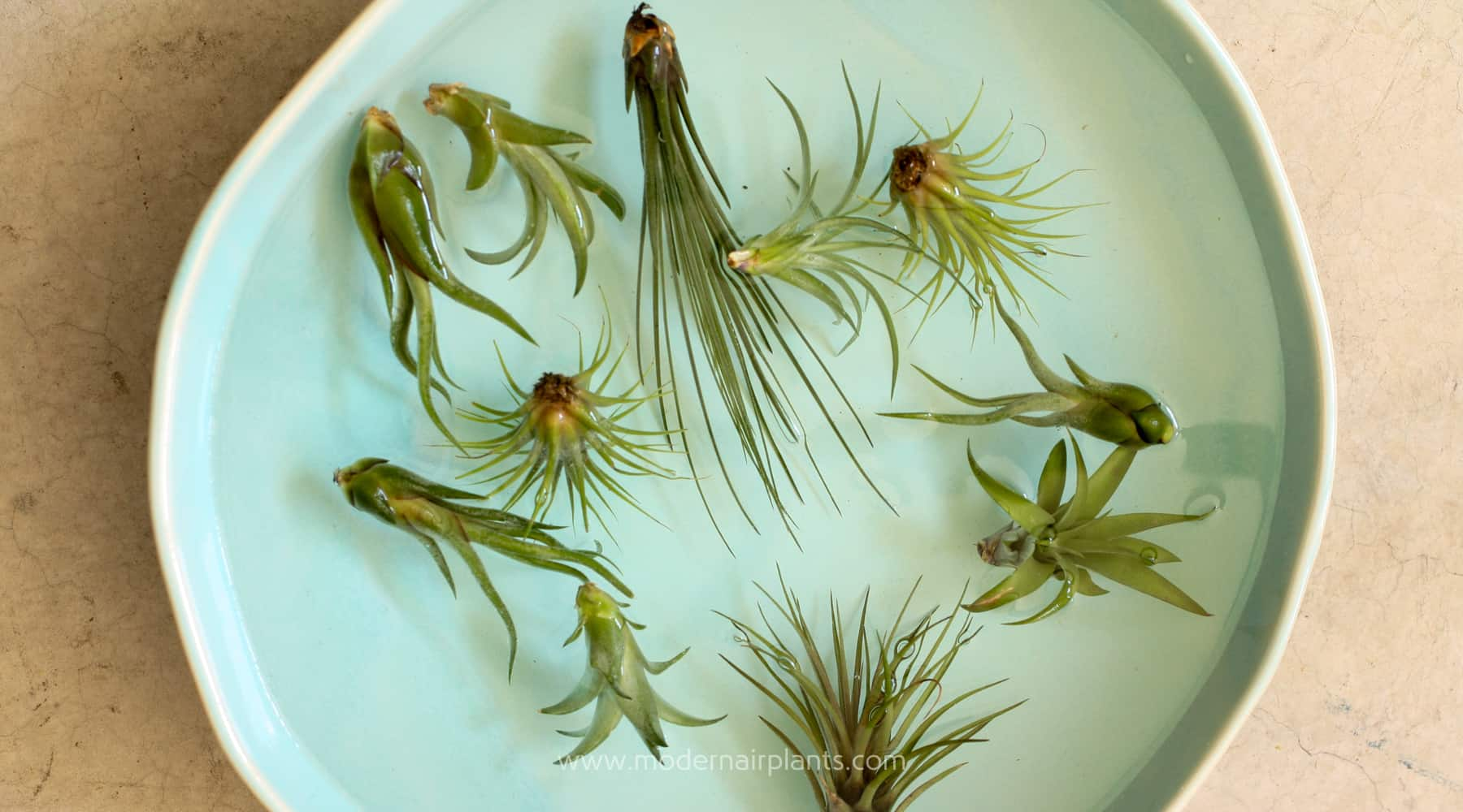WATERING AIR PLANTS