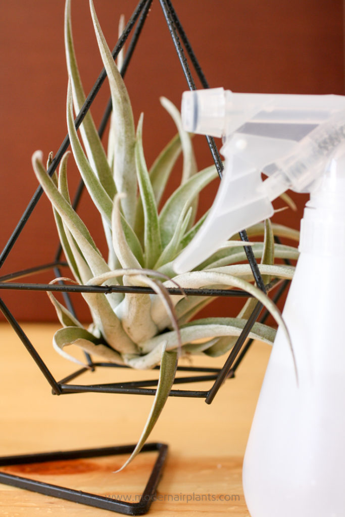 misting air plants