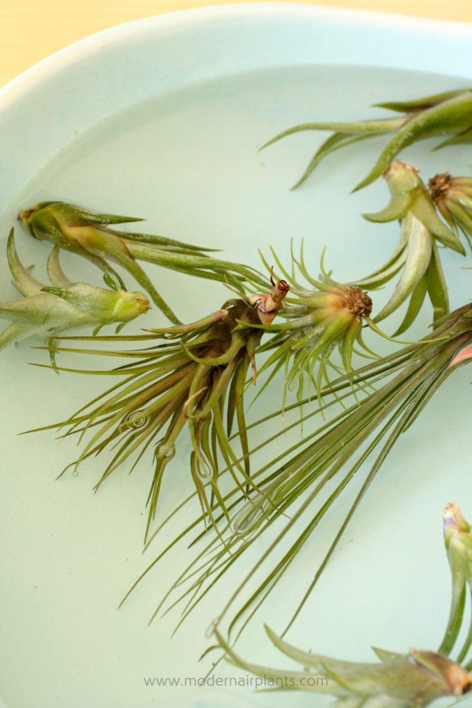 soak to water air plants