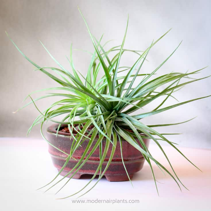 An Air Plant beginning to Clump