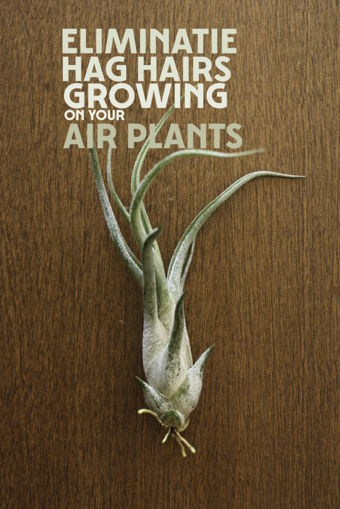 Find out how to groom your air plants