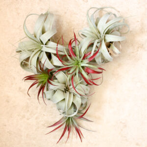 Love your Air Plants