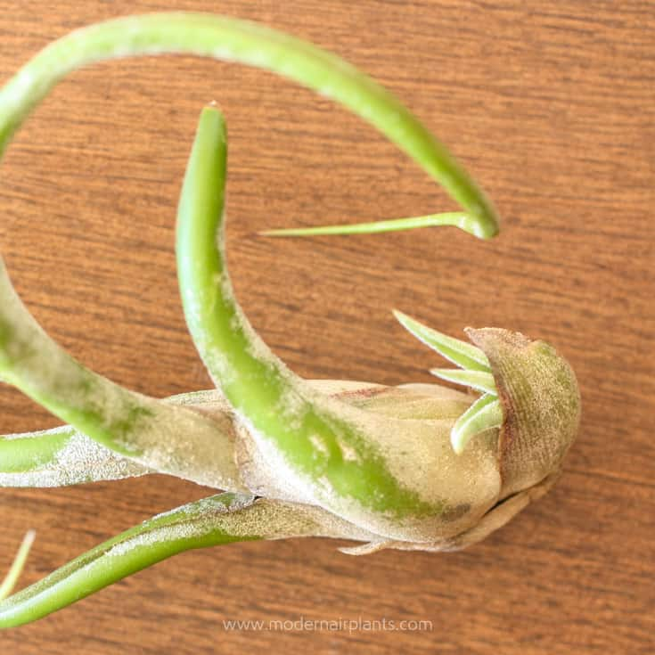 Propagating Air Plants