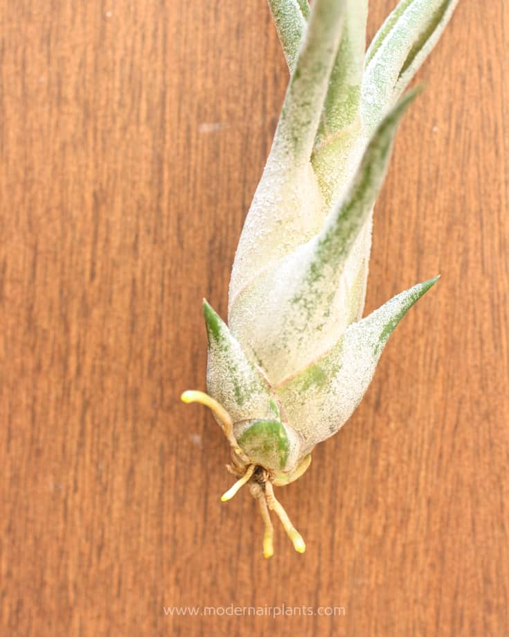 Remove Air Plant Roots