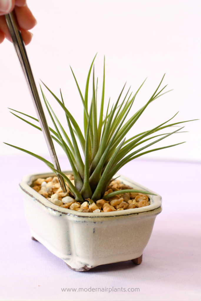 Use a chopstick to tidy up the air plant display