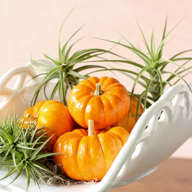 Add air plants to your fall arrangement