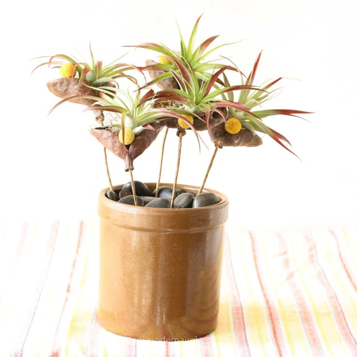 Badum Nut Pods and Air Plants in Dark Pot