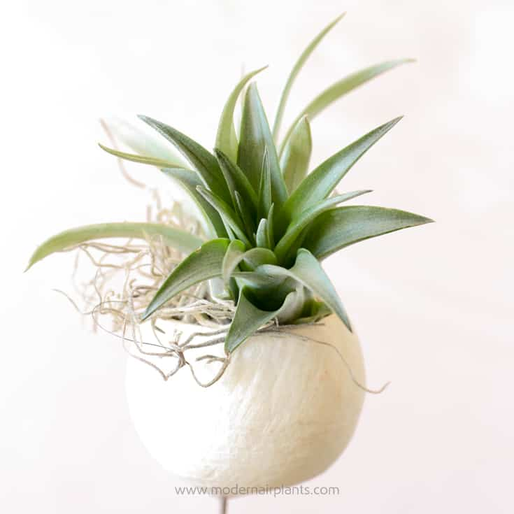 Bell Cups and Air Plants