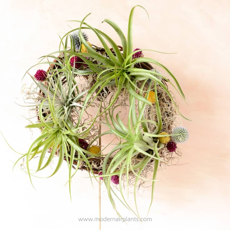 Easy as 1-2-3 - a beautiful air plant wreath