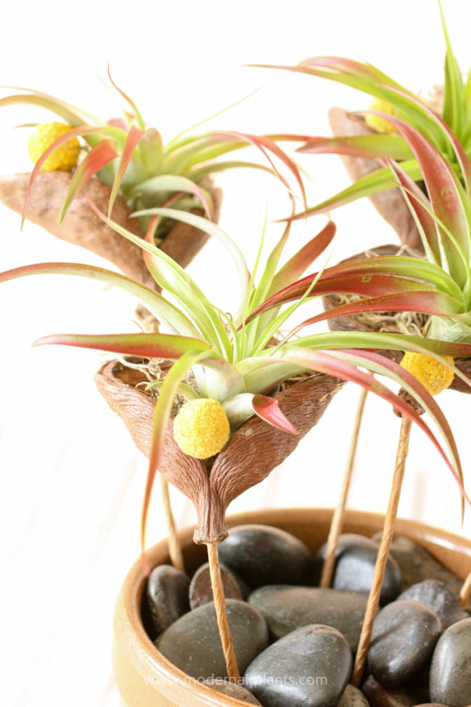 Finish off air plant display with dried flowers