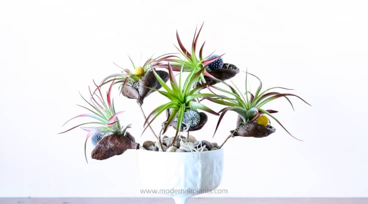Organic elements pair perfectly for air plant displays