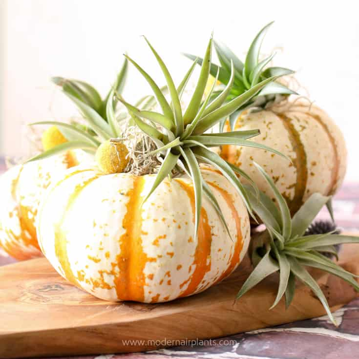 Tiger striped pumpkins and air plants