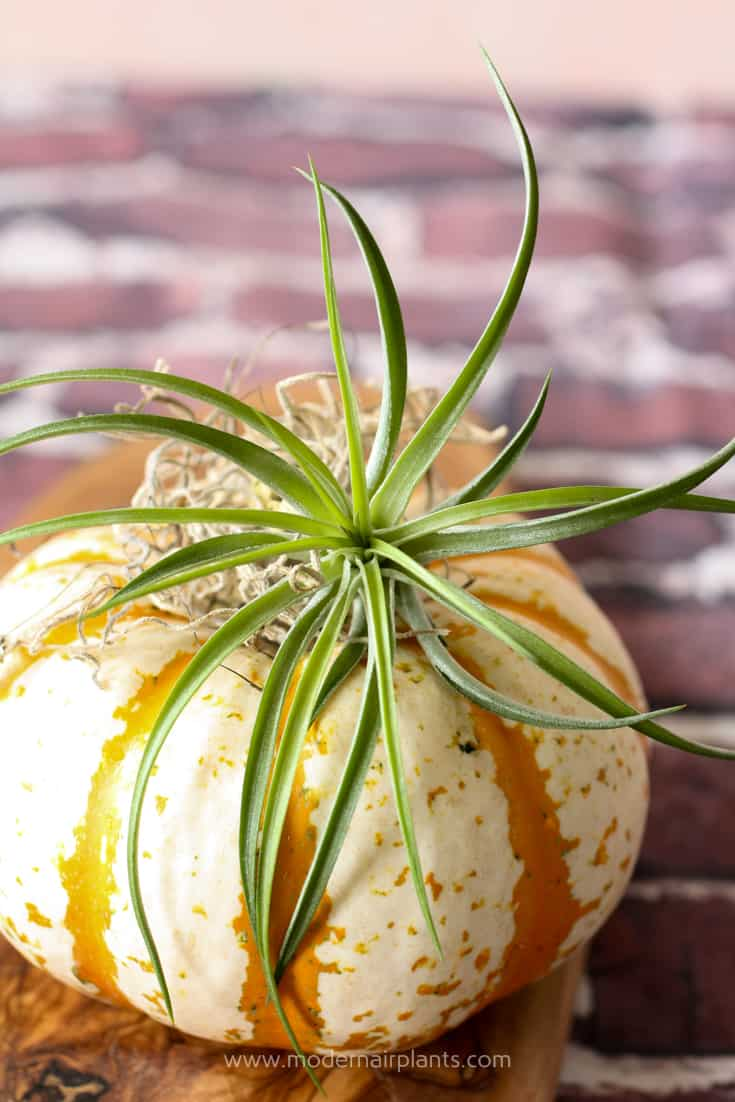 Tuck an air plant around the stem of the pumpkin