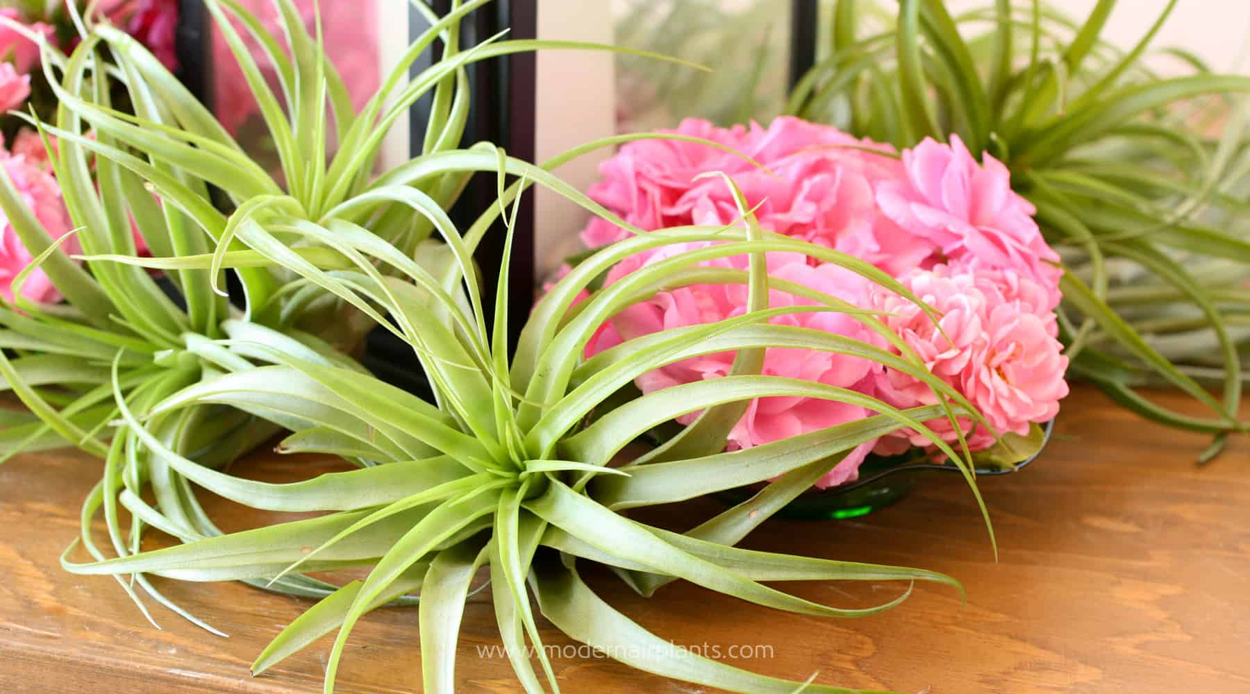 Use Air Plants to Create Beautiful Centerpieces