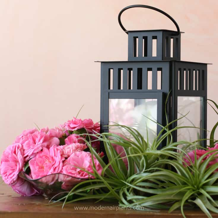 Use a lantern as an air plant focal point
