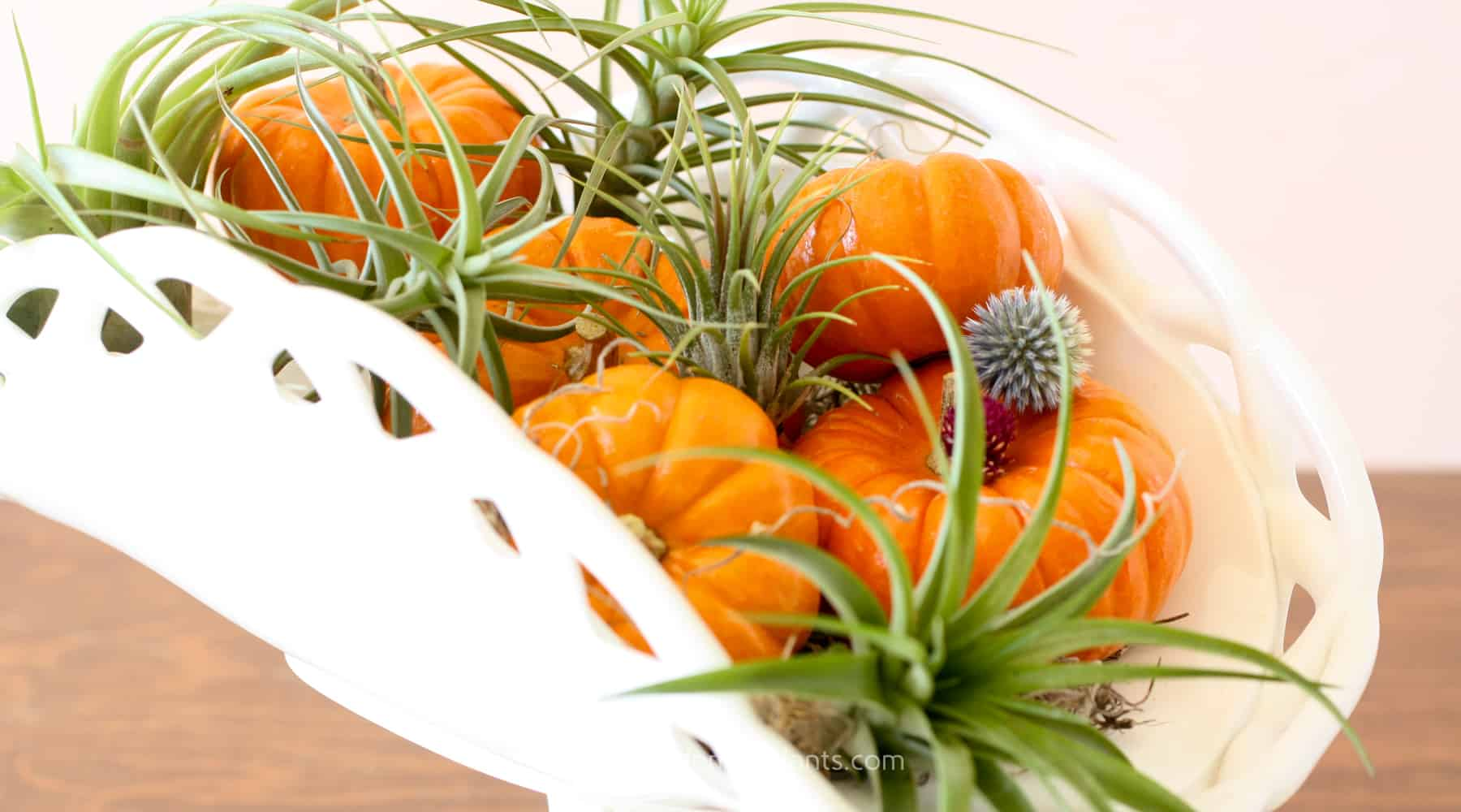 fall decor - air plants and pumpkins