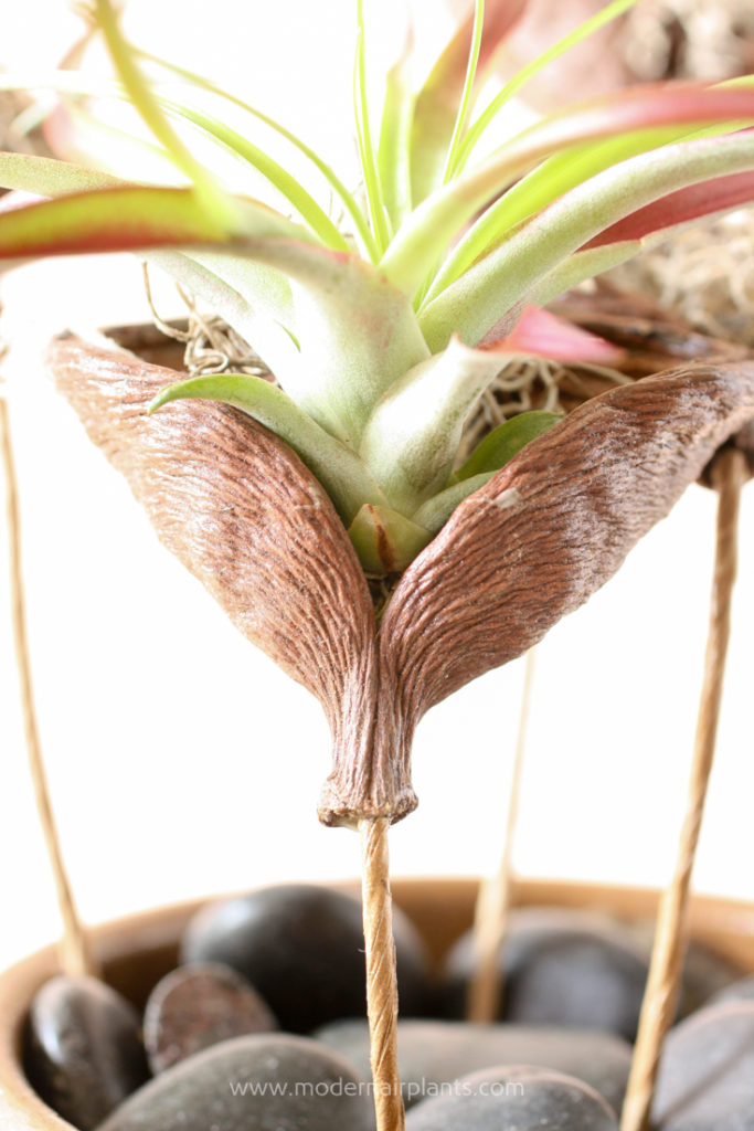 secure air plant in pod