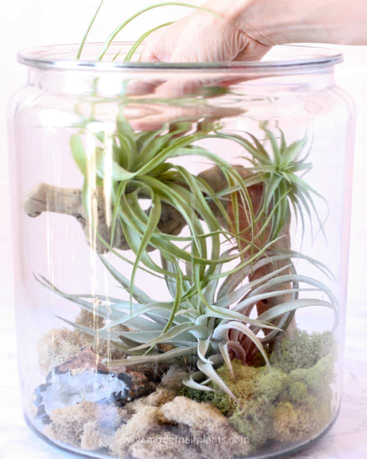 add air plants to terrarium