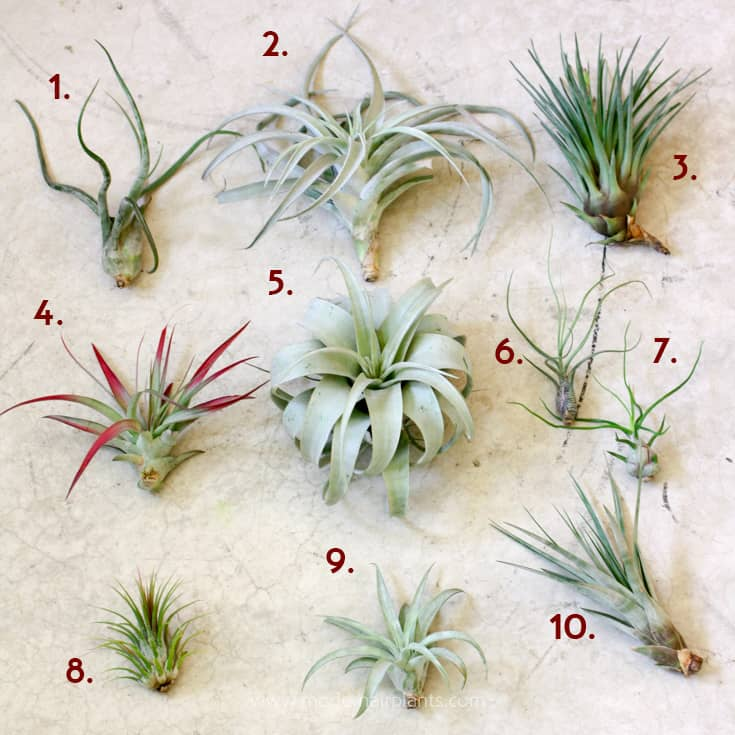 airplant samples