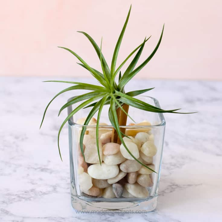 dollar store vase air plant and clothespin