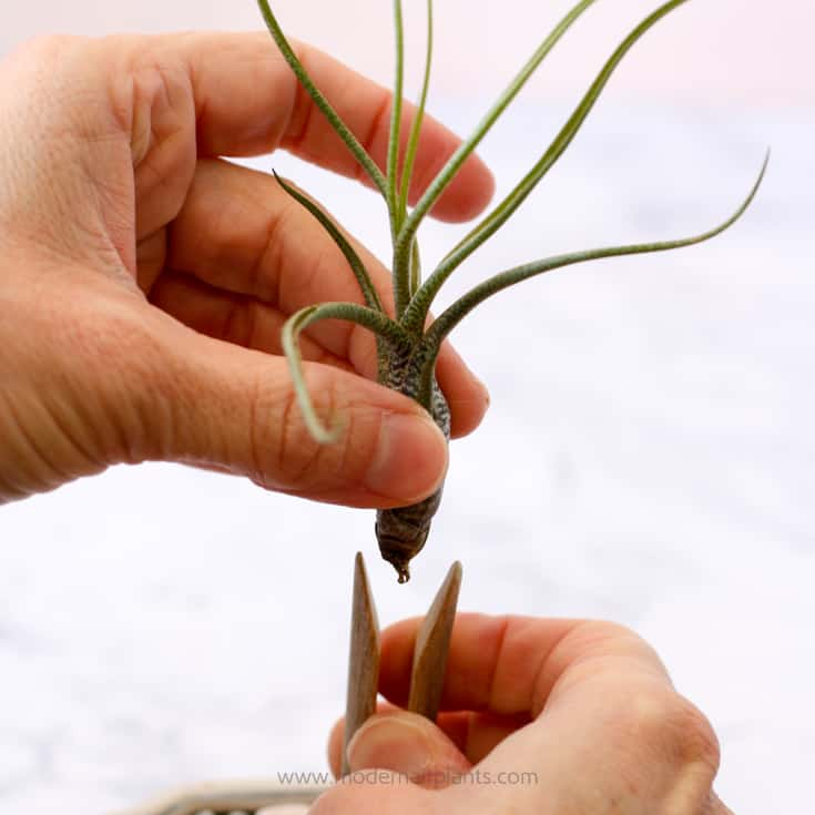 open the clothespin to insert air plant