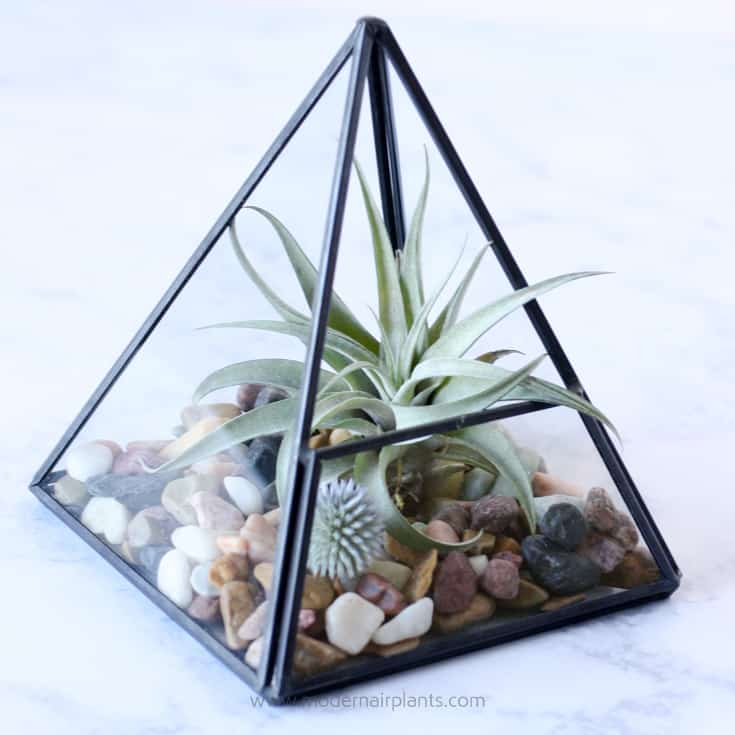 pyramid terrarium with harrisii