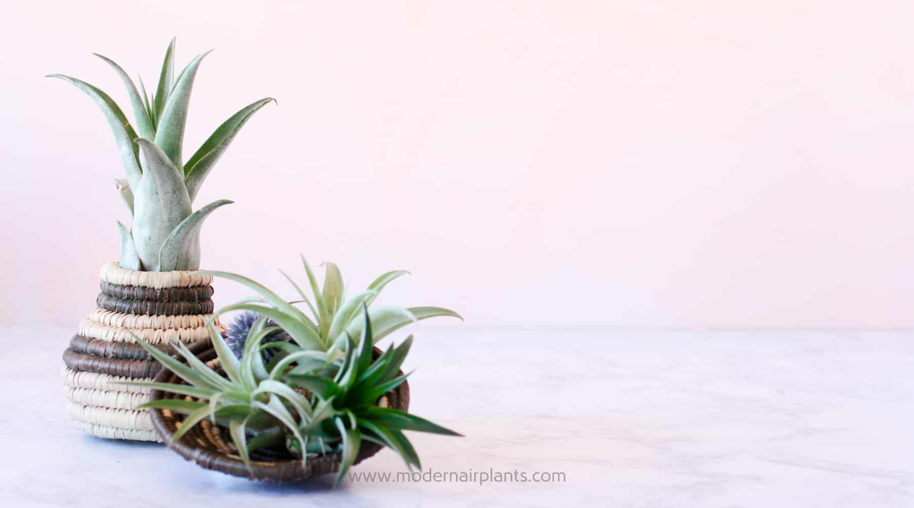 Air Plant Display in Baskets